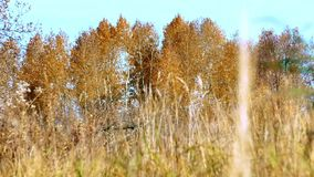 Aspens with yellow leaves sways the autumn wind stock video