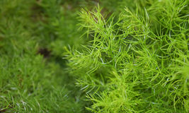 Asperge Racemosus Willd image stock
