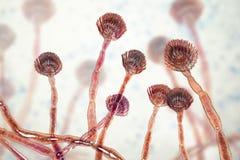 Aspergillus flavus del fungo, il produttore principale di aflatossina nei raccolti, un agente cancerogeno potente royalty illustrazione gratis