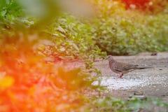 Asperjando pájaros del arroz coma como comida Imágenes de archivo libres de regalías