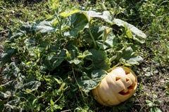 Aspetti la zucca coltivata per Halloween immagine stock