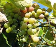 Aspetti per la fabbricazione di vino fotografie stock