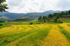 Aspetti per raccogliere il giacimento del riso Fotografie Stock