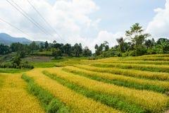 Aspetti per raccogliere il giacimento del riso Fotografie Stock Libere da Diritti