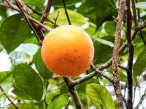 Aspetti per selezionare l'arancia sospesa dal ramo di arancio Immagine Stock