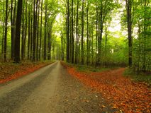 Asphalt path leading among the beech trees at near autumn forest surrounded by fog. Rainy day. Stock Photos