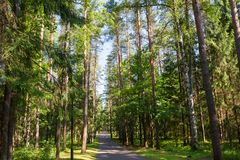 Summer afternoon in a pine forest. Asphalt road through the forest on a summer day royalty free stock photos