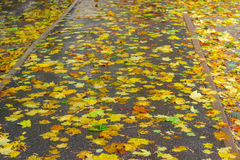 Asphalt track with wet fallen leaves of maple Stock Photography