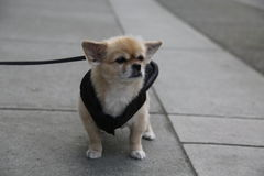 Asphalte grincheux de laisse de chien images libres de droits