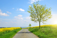 Asphalted road in rapeseed field. Stock Photo