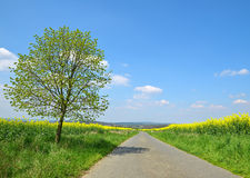 Asphalted road in rapeseed field. Royalty Free Stock Photography