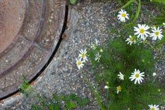 Asphaltieren Sie Schmutzkanaldeckel im konkreten Boden mit Blume und Gras Stockfoto