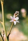 Asphodel embranché dans le printemps Photos libres de droits