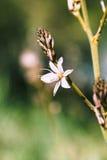 Asphodel embranché dans le printemps Images stock
