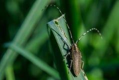 Asphodel Long Horned Beetle, Agapanthia asphodeli, resting on a leaf stock images