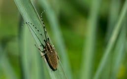 Asphodel Long Horned Beetle, Agapanthia asphodeli, resting on a leaf royalty free stock photography