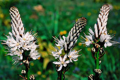 Asphodel spring flowering Royalty Free Stock Photography