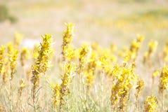 Asphodeline在明亮的阳光下 山植物 免版税库存图片