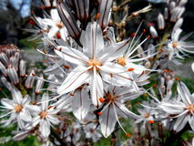 Asphodelus aestivus. Common asphodel flower Stock Photography