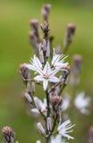 Asphodelus Plant Stock Images