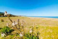 Asphodelusen blommar vid havet Royaltyfri Fotografi