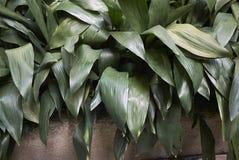 Free Aspidistra Elatior In A Flowerbed Stock Photos - 132017793