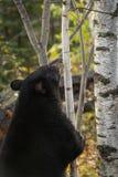 Aspiraciones americanus del Ursus del oso negro en el árbol de abedul fotografía de archivo libre de regalías