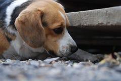 Aspiraciones del beagle curiosamente fotografía de archivo