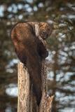 Aspiraciones del pennanti de Fisher Martes encrespadas alrededor de árbol Foto de archivo libre de regalías