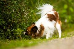 Aspirando o cão de Papillon Foto de Stock