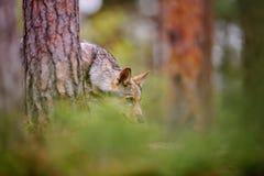 Aspirando o lobo Caçador na trilha escondida na floresta Imagem de Stock