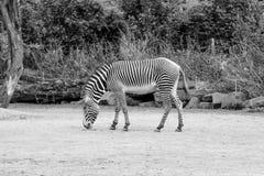 Aspirando a zebra Imagem de Stock Royalty Free