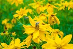 Aspirar el néctar Fotografía de archivo