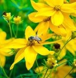 Aspirar el néctar Imagen de archivo libre de regalías