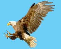 Aspiration de main d'attaque d'atterrissage d'aigle chauve et couleur de peinture sur le fond bleu Photographie stock libre de droits