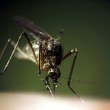 Aspiration du moustique Images libres de droits