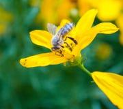 Aspiration du nectar Image libre de droits