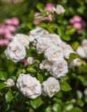 Aspirin rose Royalty Free Stock Photo