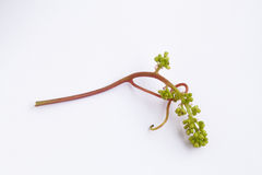 Aspiring виноградины Стоковые Фото
