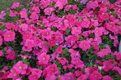 Aspiruje Ogrodowych kwiaty Katarskich zdjęcie stock