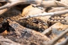 Aspisviper, Vipera Aspis, nicht zu giftig Stockfotos