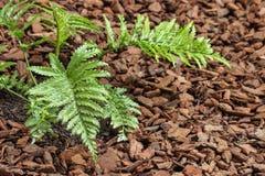 Asplenium bulbiferum fern growing on mulched soil Stock Photography