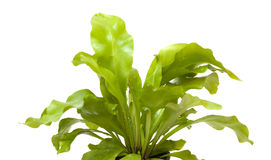 Asplenium nidus, bird nest fern Stock Photos