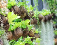 Asplenium nidus (bird nest fern) Royalty Free Stock Images