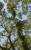 Asplenium nidus epiphyte tropical fern on tree trunk, Royalty Free Stock Image