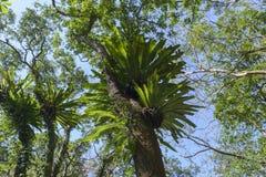 Asplenium nidus epiphyte tropical fern on tree trunk, Stock Image