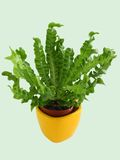 Asplenium nidus in a pot on a light background Royalty Free Stock Photos