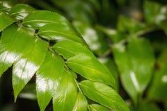 Shining Spleenwort Fern Frond. Asplenium oblongifolium is a native species of fern from New Zealand. The plant`s common name is shining spleenwort Stock Photography
