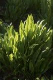 Aspleniumscolopendrium Royaltyfri Fotografi