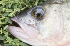 Aspräuberische Frischwasserfische auf Abschluss des grünen Grases oben Lizenzfreies Stockfoto